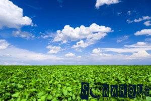 Soñando con una plantación de frijoles