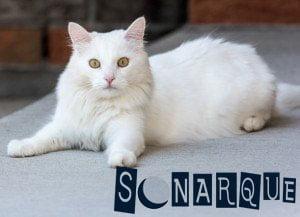 lo que significa soñar con un gato blanco