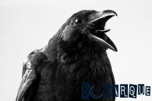 Soñando con cuervo cuervo