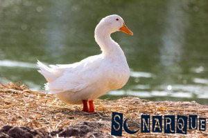 Soñar con pato blanco