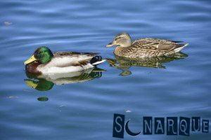Soñar con pato nadando