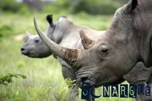 Sueña con un rinoceronte