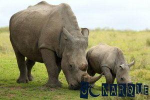 Soñando con un cachorro de rinoceronte