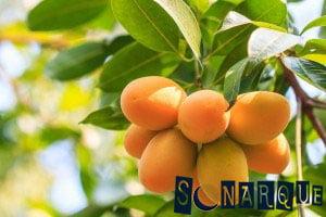 Soñando con árboles de mango