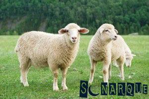 Soñando con una ovejita
