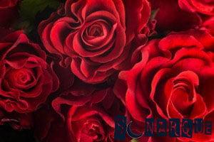 Soñando con rosas rojas