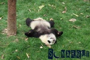 Soñando con un panda tranquilo