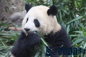 Soñar con un panda