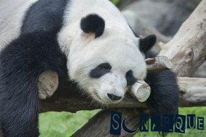 Soñando que ves un panda
