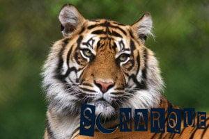 sueña con el tigre