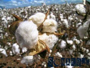 Soñar con algodón 3