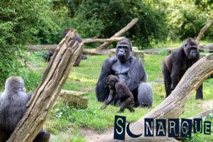 Soñando con un gorila 2