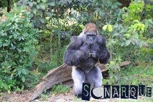 Soñar con gorila 3