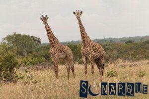 Soñando con la jirafa 2