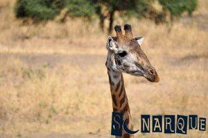 Soñando con la jirafa 3