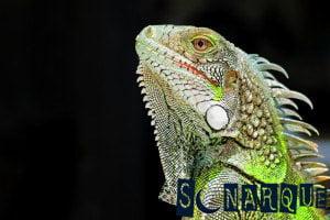 Soñar con una iguana