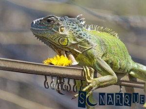 Soñando con iguana 2