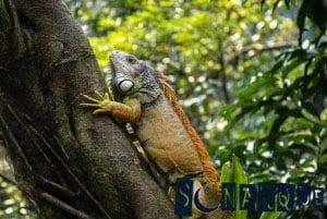 Soñando con iguana 3
