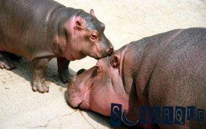Soñar con un hipopótamo
