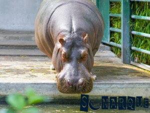 Soñando con hipopótamo 2