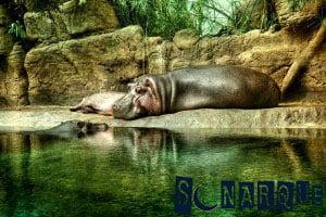 Soñar con hipopótamo 3