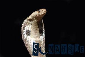 significado de un sueño sobre una cobra