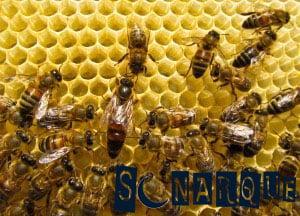sueña con la abeja reina