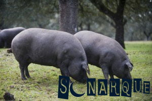 Soñando con cerdo negro