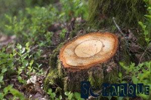 Soñando con un tocón de árbol