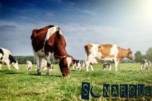 Soñando con una vaca pastando