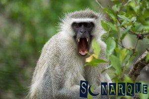 Soñar con un mono enojado