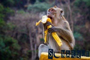 Soñando con alimentar a un mono