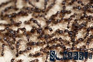 Soñando con muchas hormigas