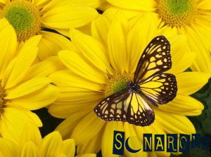 Soñando con una mariposa amarilla