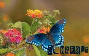 Soñando con una mariposa azul