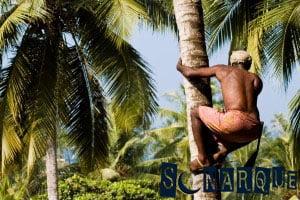 Soñar que cosechas coco
