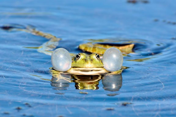 Si sapo está nadando en el estanque y está tratando de salir