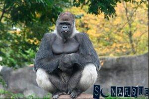 Significado de soñar con gorilas gigantes