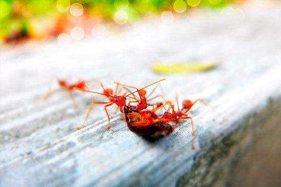 Soñando con ser mordido por una hormiga roja