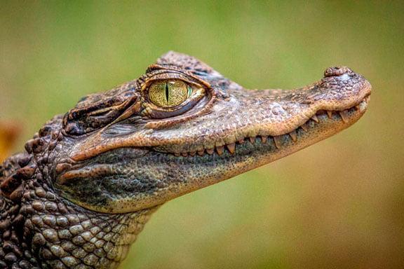Soñar con cocodrilo