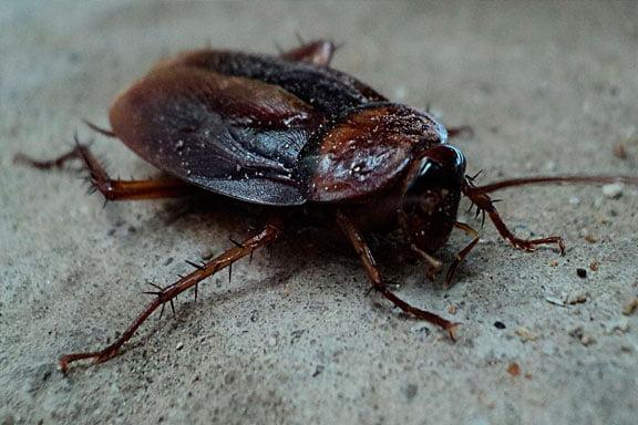 Soñar con cucarachas gigantes