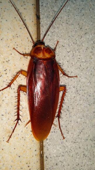 Soñar cucarachas muy grandes