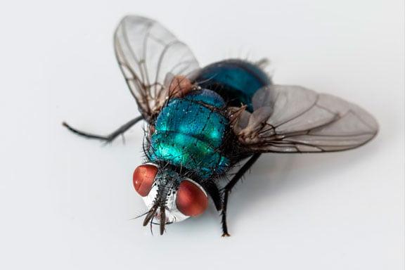 Sueños con moscas y mosquitos