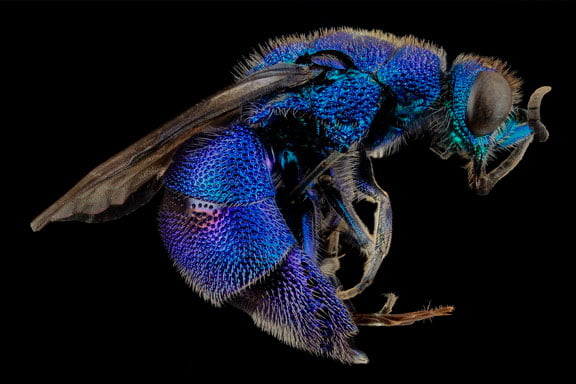 Sueños de avispa azul