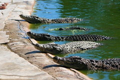 soñar con cocodrilos gigantes