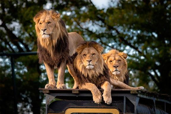 soñar con leones acostados