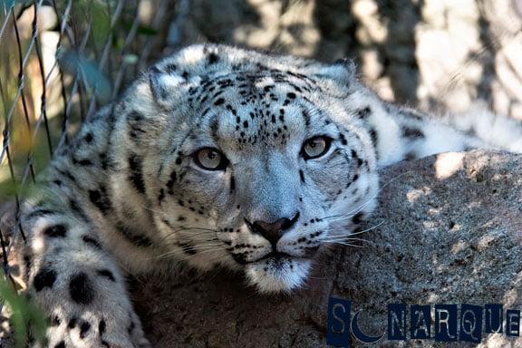 soñar-con-leopardo