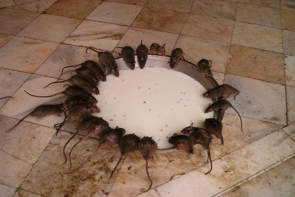 soñar con muchas ratas