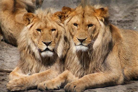 soñar con varios leones
